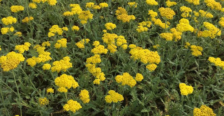 Achillea LITTLE MOONSHINE ® (= 'Acbz0002' PBR)