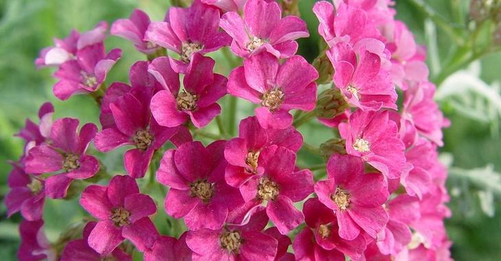 Achillea millefolium 'Pink Grapefruit'