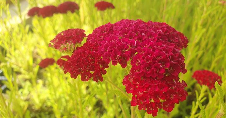 Achillea millefolium 'Pomegranate'