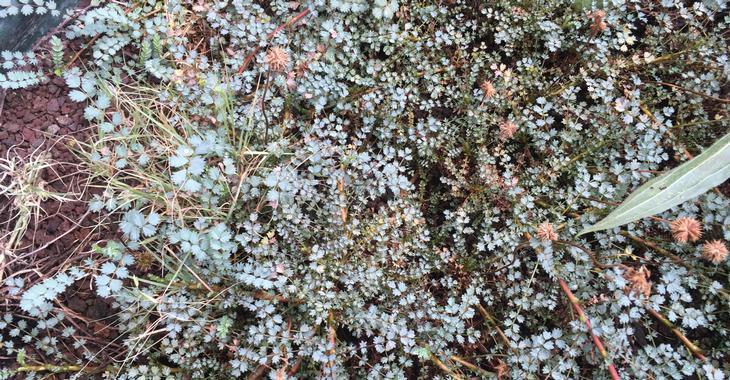 Acaena saccaticupula