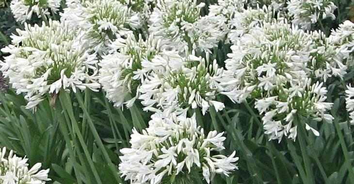 Agapanthus 'Polar Ice' (Trumpet-Group)