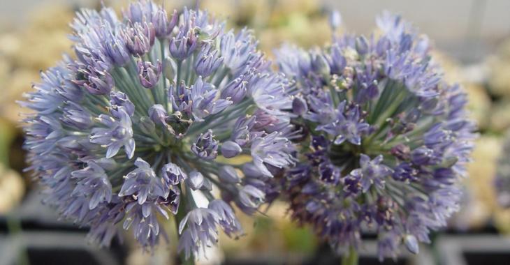 Allium caeruleum LOS