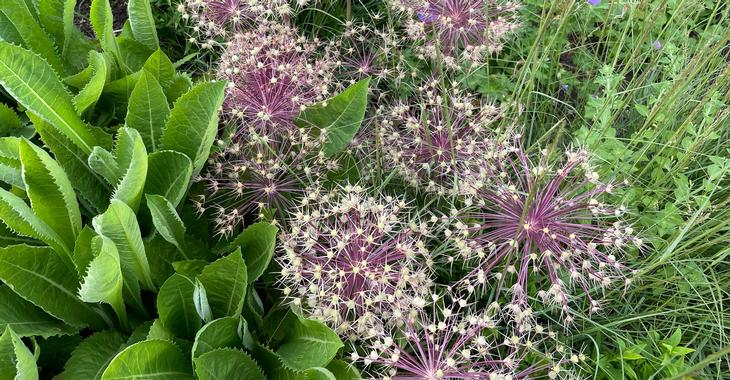 Allium christophii LOS