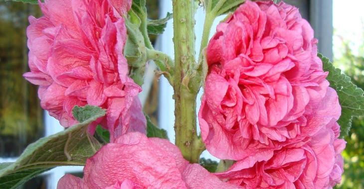 Alcea rosea 'Charters Rosa'