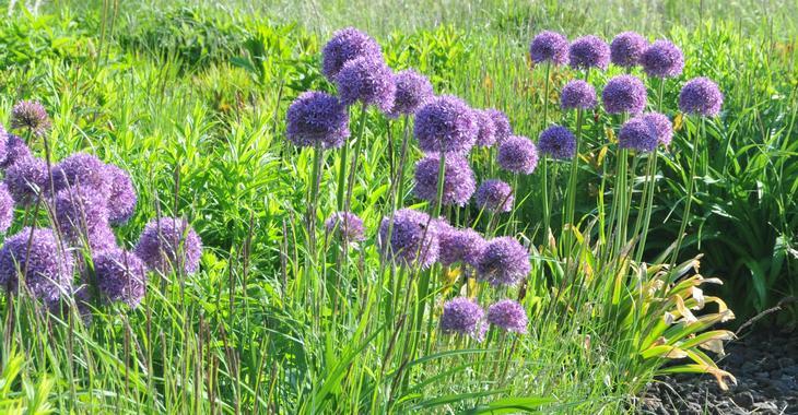 Allium 'Gladiator' LOS