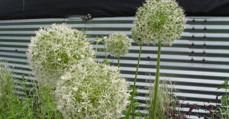Allium 'Mont Blanc' LOS