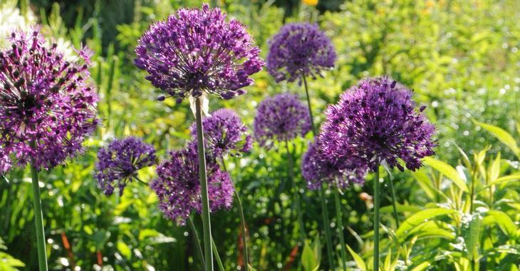 allium aflatunense 39 purple sensation 39 op. Black Bedroom Furniture Sets. Home Design Ideas