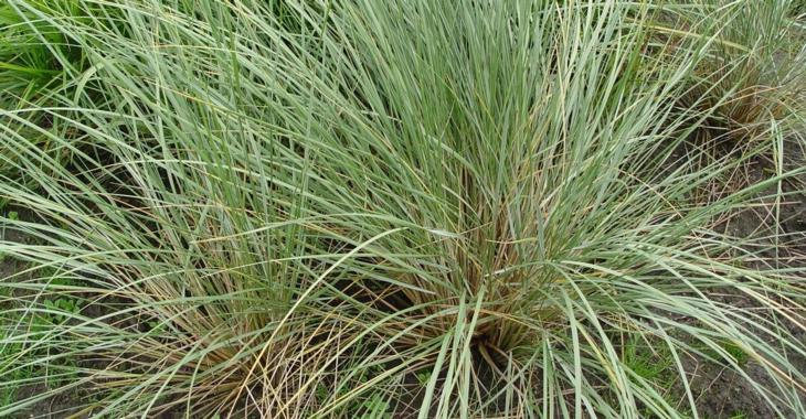 Ammophila arenaria JS® 'Belgian Coast'