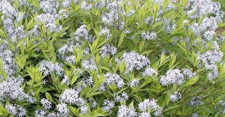 Amsonia Tabernaemontana Salicifolia Amsonia Tabernaemontana Var