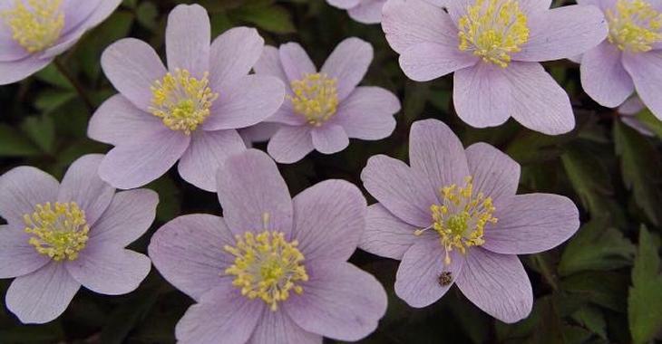 Anemone nemorosa 'Blue Beauty' 2J