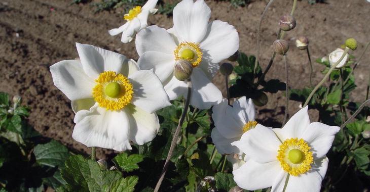 Anemone hybrida (x) 'Coupe d'Argent'