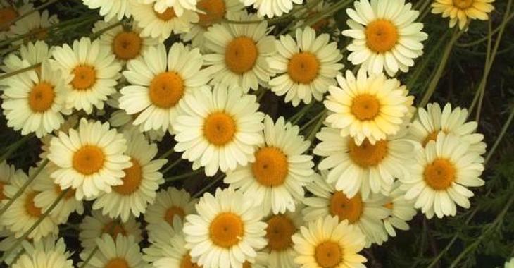 Anthemis hybrida (x) 'E.C.Buxton'