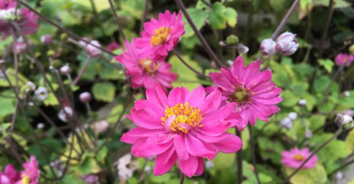 Anemone hybrida (x) 'Giselle'