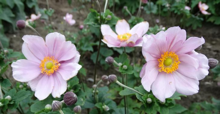 Anemone hybrida (x) 'Märchenfee'