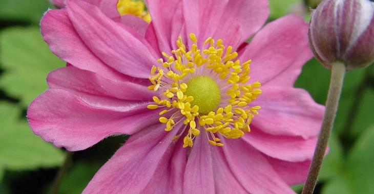 Anemone hybrida (x) 'Pamina'