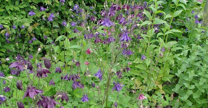 Aquilegia vulgaris 'Grandmother's Garden'