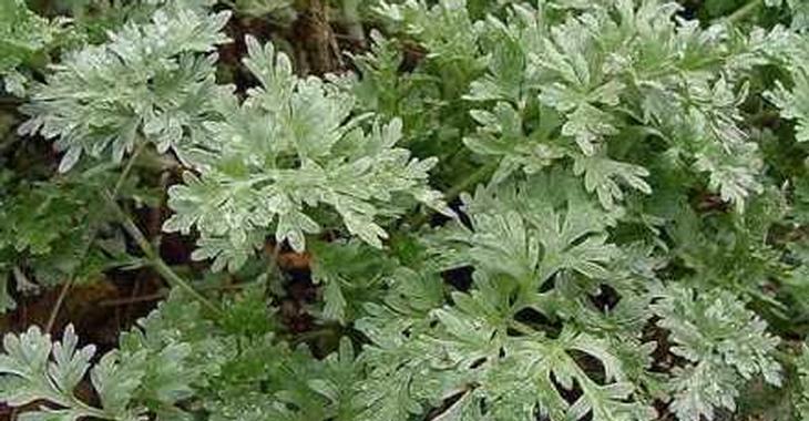 Artemisia absinthium (ALSEM)