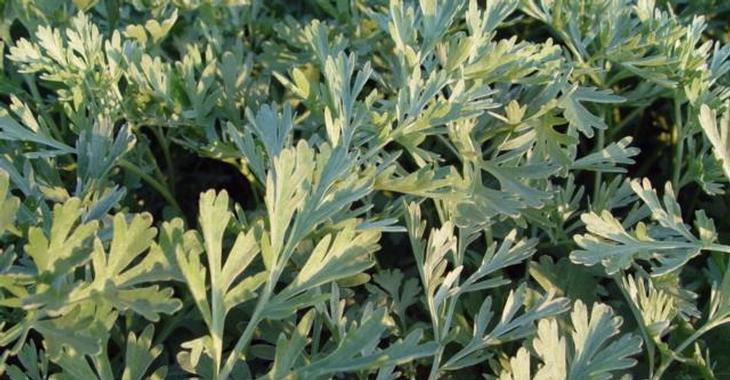 Artemisia absinthium 'Lambrook Silver'