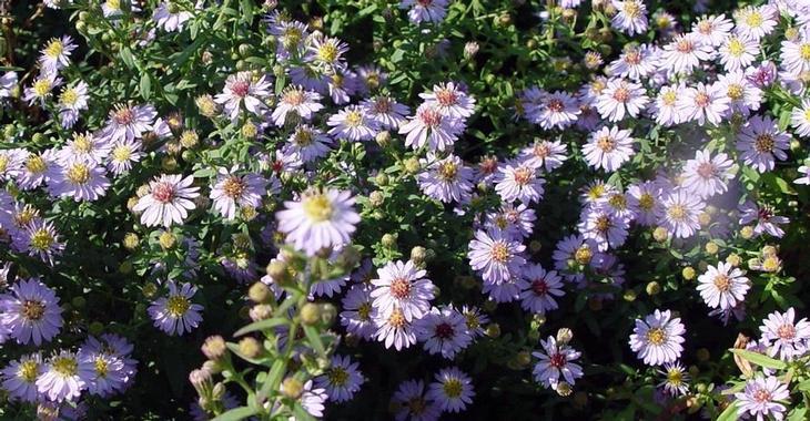Aster ericoides 'Blue Star'