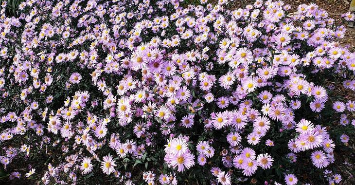 Aster laevis 'Glow in the Dark'