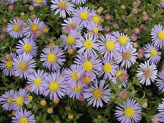 Aster amellus 'Silbersee'