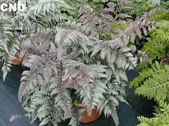 Athyrium niponicum 'Silver Falls'