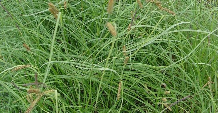 Carex flacca 'Buis'