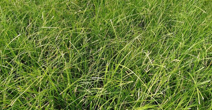 Carex lenta 'Osaka'