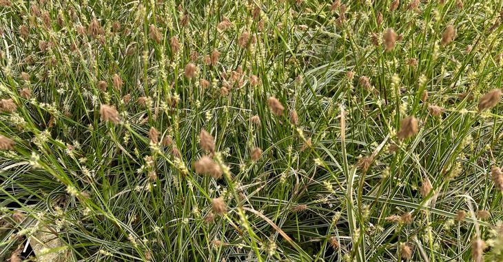 Carex conica 'Snowline'