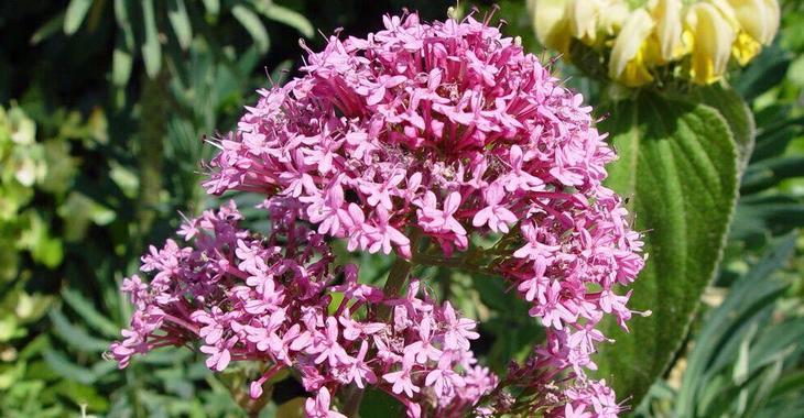 Centranthus ruber 'Rosenrot'