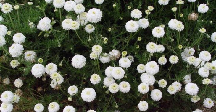 Chamaemelum nobile 'Ligulosum' (ROOMSE KAMILLE)