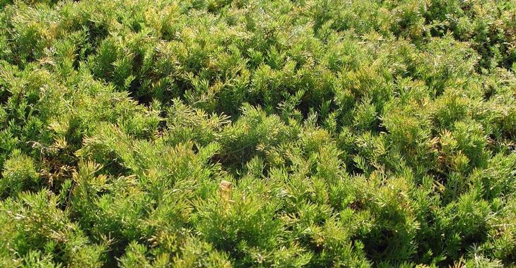 Chamaemelum nobile 'Treneague' (LOOPKAMILLE)