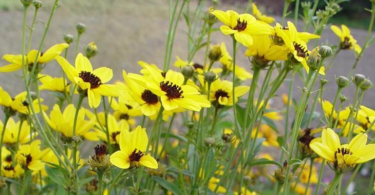 Coreopsis tripteris JS® 'Mostenveld'