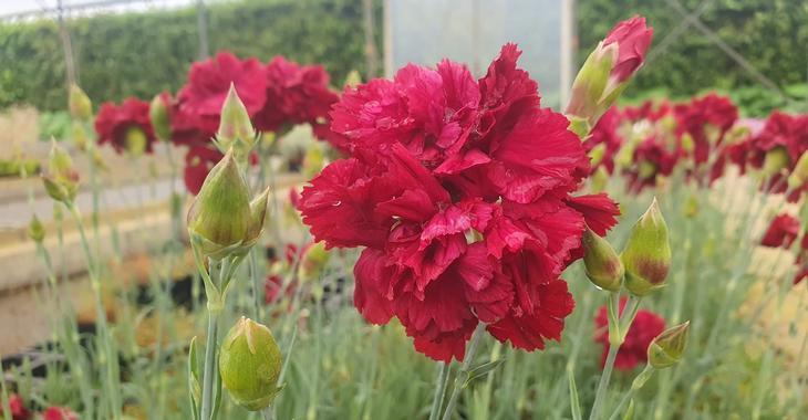 Dianthus 'Heidi' (Plumarius-Group)