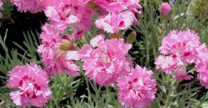 Dianthus 'Maggie' (Plumarius-Group)