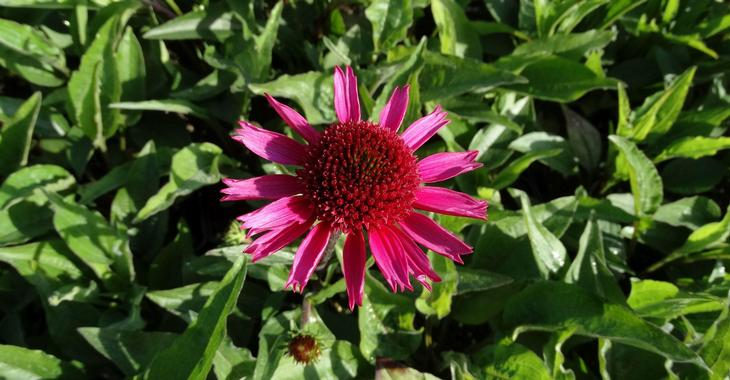 Echinacea purpurea DELICIOUS CANDY®
