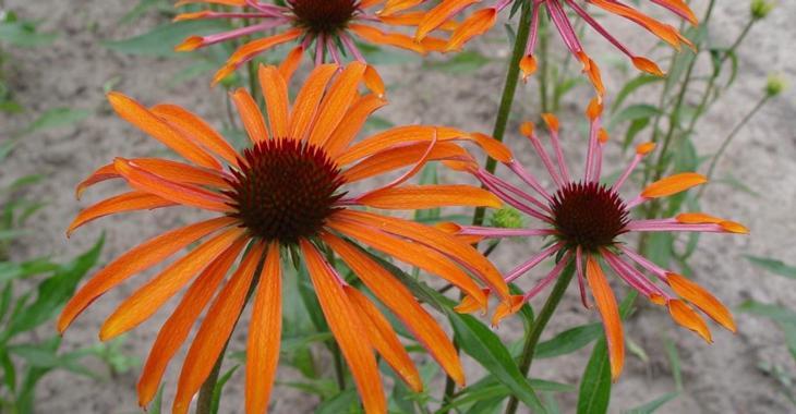 Echinacea purpurea 'JS Maya Raya'®