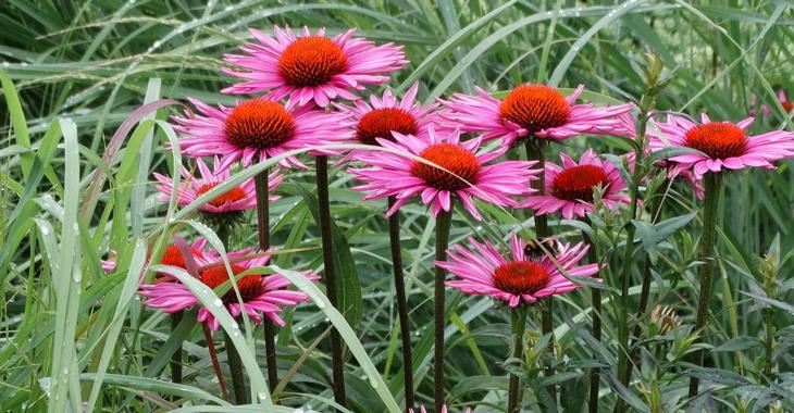 Echinacea purpurea JS® 'Pica Bella'