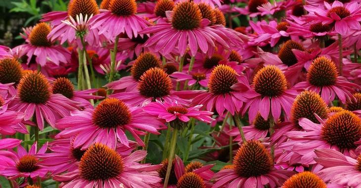 Echinacea purpurea JS® 'Purple Prairie'