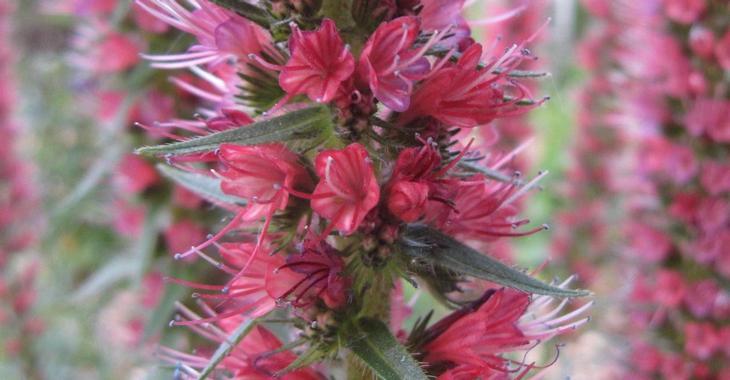 Echium russicum