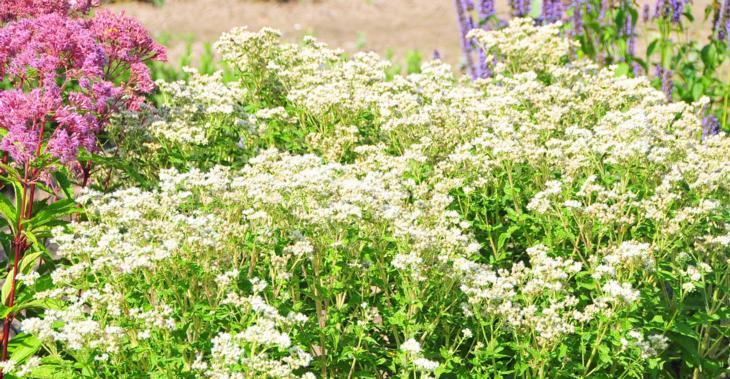 Eupatorium perfoliatum JS® 'Witte Wolken'