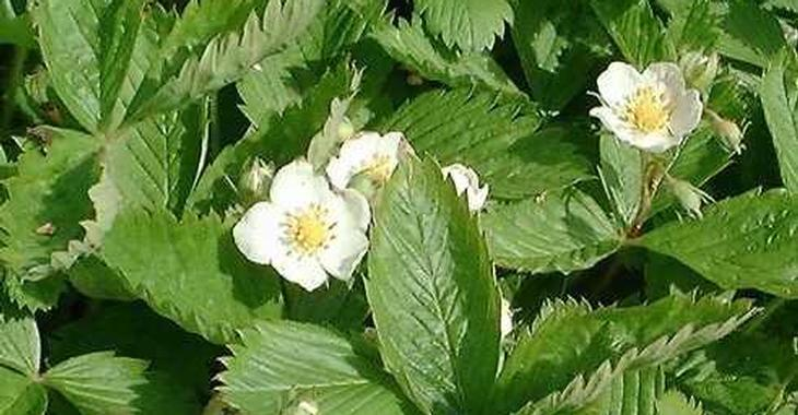 Fragaria vesca (BOSAARDBEI)