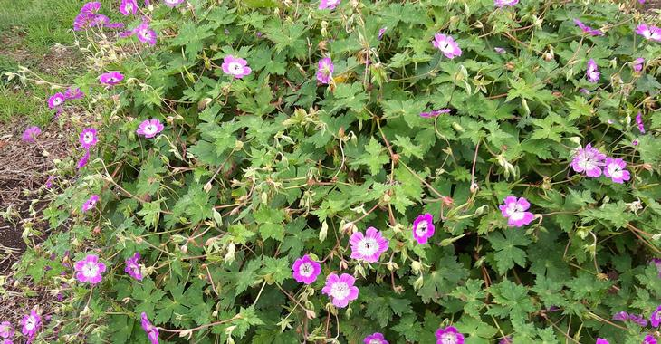 Geranium wallichianum ALL SUMMER DELIGHT