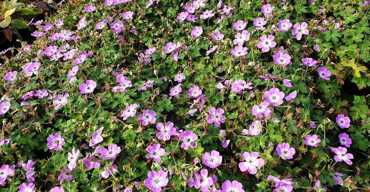 Geranium 'Bloom Time'