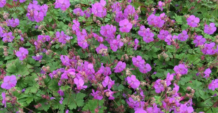 Geranium cantabrigiense (x) 'Karmina'
