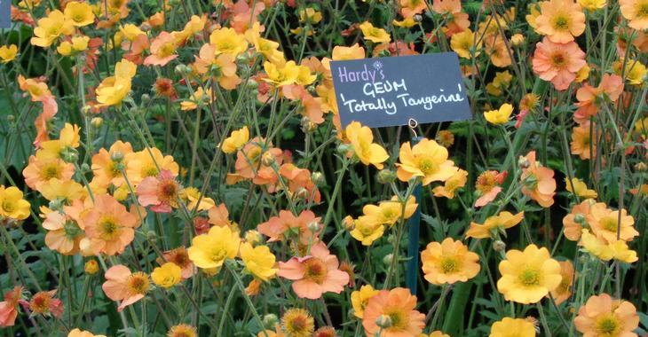 Geum 'Totally Tangerine' PBR