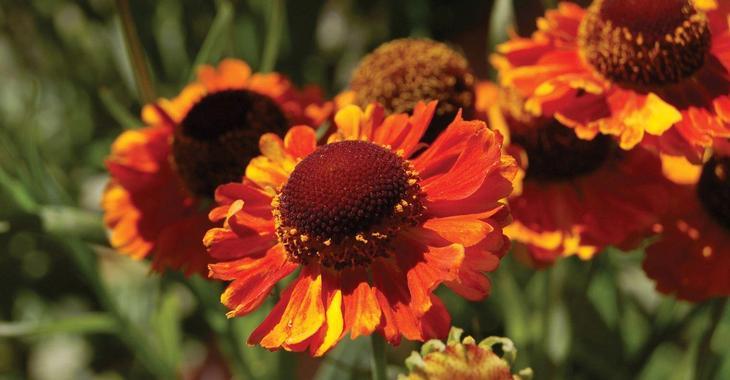Helenium autumnale MARDI GRAS