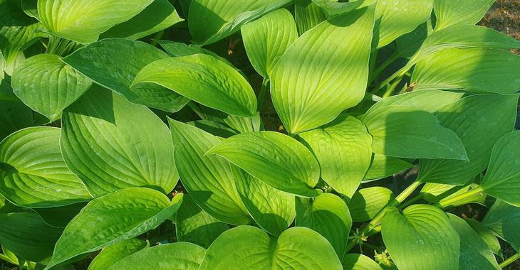 Hosta fortunei (x) 'Hyacinthina'