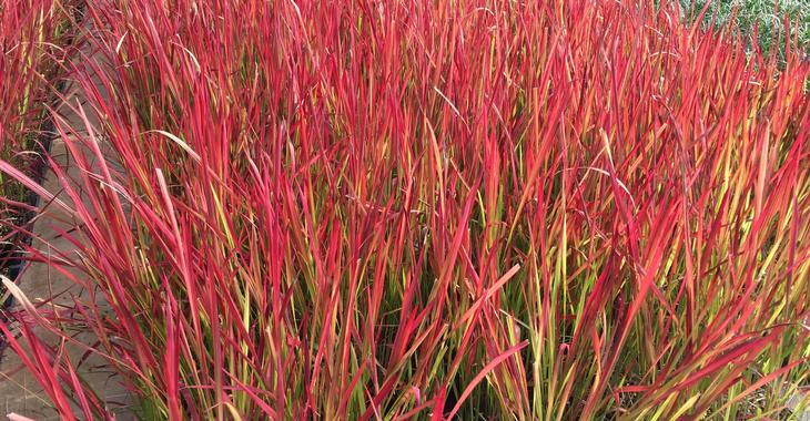 foto de Imperata cylindrica 'Red Baron' op vasteplant be
