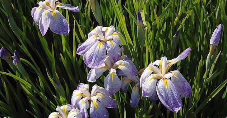 Iris ensata 'Aquamarin'